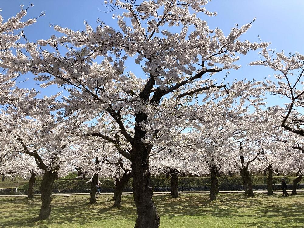 2021五稜郭公園の桜